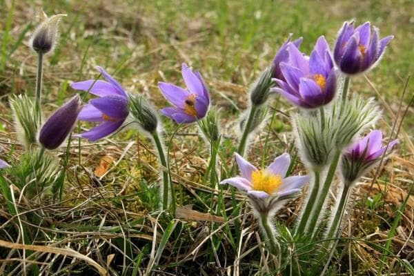 Pulsatilla - grass for syrup