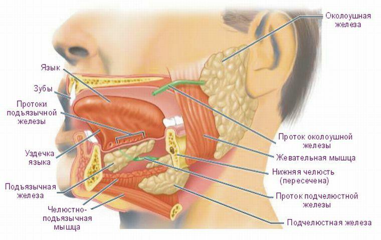 Alles über Speicheldrüsen: Anatomie, Funktionen und Krankheiten ...