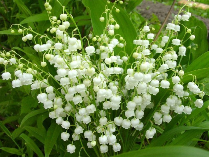Lily-of-the-Valley: propriétés médicinales et contre-indications, application en médecine populaire. Teinture du muguet - mode d'emploi